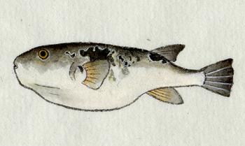 fugu2.jpg